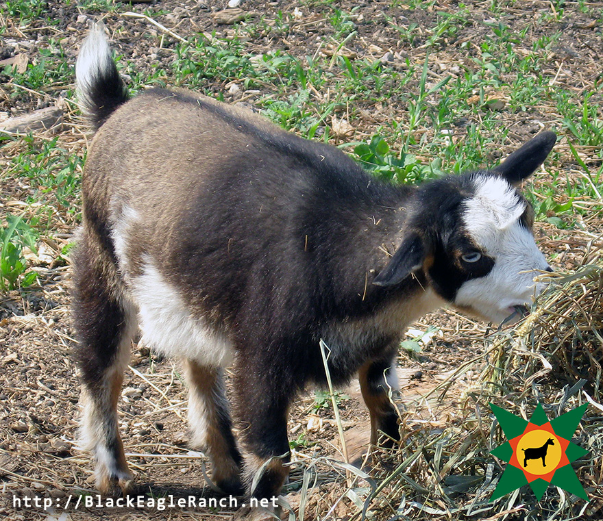 Black Eagle Ranch Nigerian Dwarf Goats