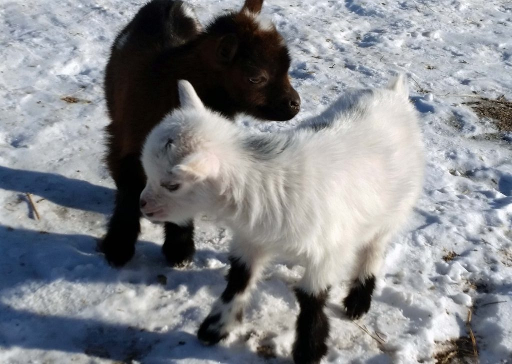 Black Eagle Ranch 2019 Nigerian Dwarf Goat Kids