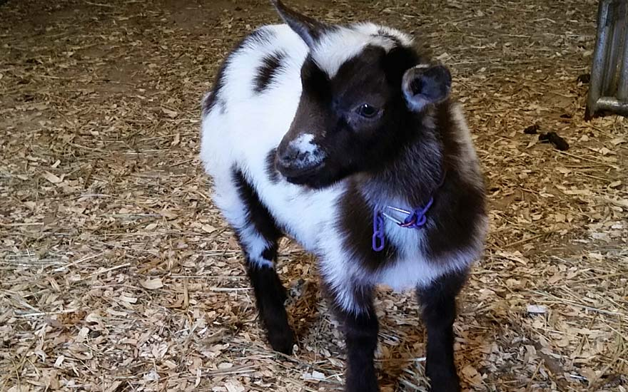 Black Eagle Ranch Dwarf Nigerian Goat Cowboy